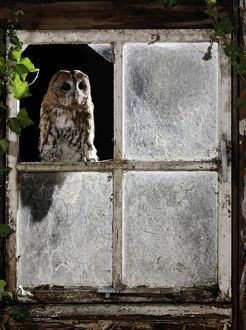 Tawny owl - looking through shed window