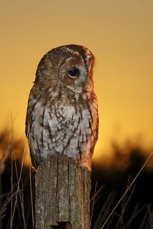 Tawny Owl - on post at sunset