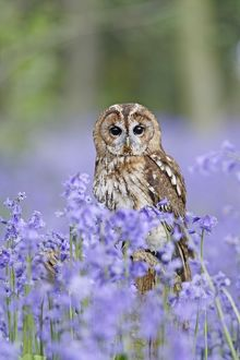 Tawny Owl - on stump in bluebell wood