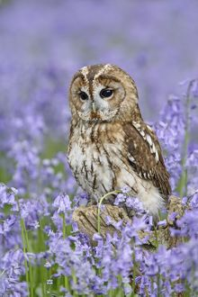 Tawny Owl - on tree stump in bluebell wood