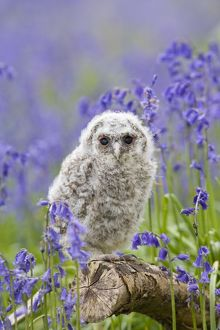 Tawny owl - youngster in bluebell woodland