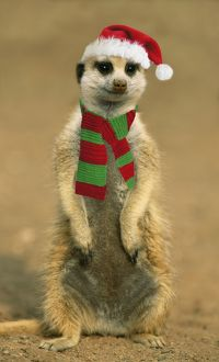 TD-1163-M Suricate - on hind legs wearing Christmas hat & scarf.