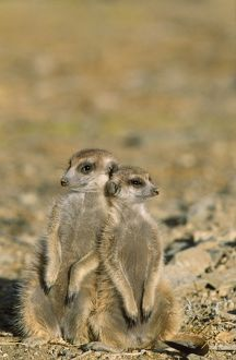 TD-1472 Suricate / Meerkat - two different aged young on lookout at the edge of burrow.