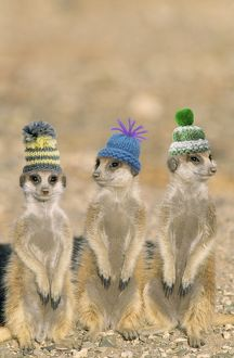 TD-1477-M Suricate / Meerkat - wearing woolly hats