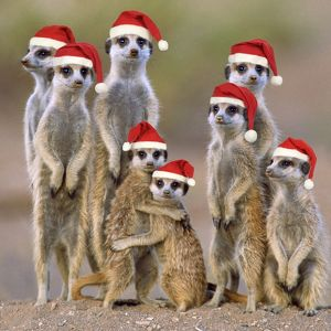 TD-1484-C-M2 Suricate / Meerkat - family with young wearing Christmas hats