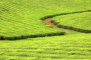 Tea Plantation - brightly green tea bushes stretch over a hilly landscape.