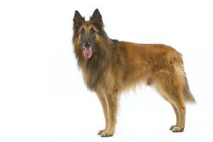 Tervueren / Belgian Shepherd Dog / Belgian Tervueren. Also know as Chien de Berger Belge