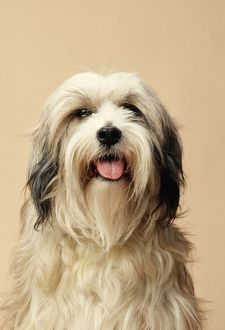 <b>Tibetan Terrier</b><br>Selection of 71 items