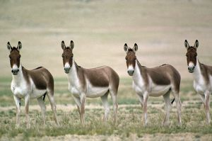 Tibetan Wild Ass / Kiang - group of males