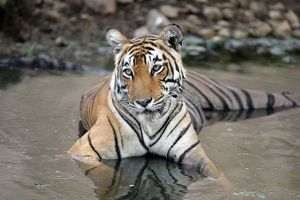 Tiger - Female resting in pool