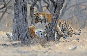 Tiger - male & female fighting over a kill