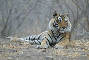 Tiger - Male resting
