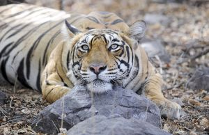 Tiger - Ranthambhore National Park
