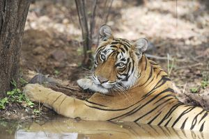 Tiger - resting in water