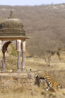 Tiger - Tigress & Chhatri