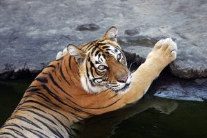 Tiger - Tigress in water pool