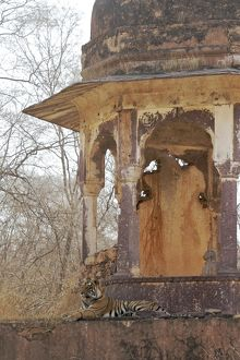 Tigress - large cub lying on chhatri base (elevated, dome-shaped pavilion)