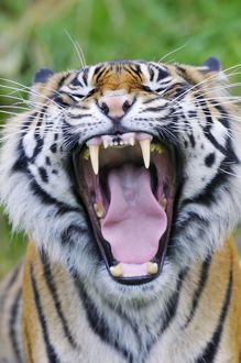 TOM-1640 Sumatran Tiger - with mouth wide open