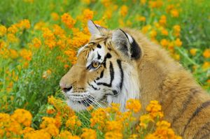 TOM-1657 Bengal Tiger - in orange mustard flowers