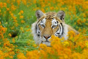 TOM-1658 Bengal Tiger - in orange mustard flowers