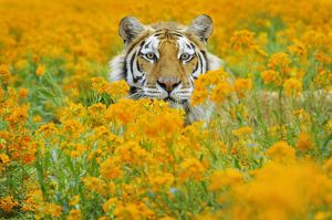 TOM-1659 Bengal Tiger - in orange mustard flowers