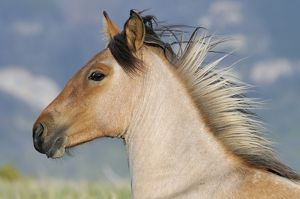 TOM-1893 Wild / Feral Horse - two year old mare