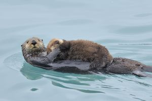 TOM-1919 Alaskan / Northern Sea Otter - mother carrying very young pup