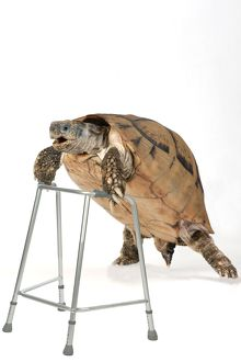 Tortoise with zimmer framce