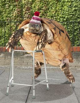Tortoise with zimmer frame