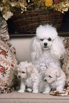 Toy Poodle Dog - with puppies