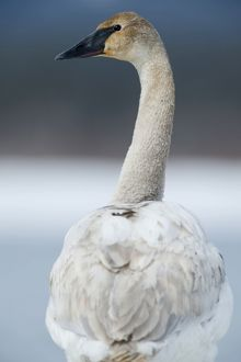 Trumpeter Swan portrait from the rear in snow landscape