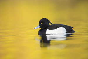 Tufted Duck - Cornwall - UK