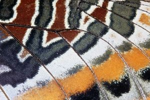 Twin-tail Pasha Butterfly - close-up of scales