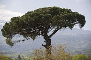 umbrella pine sicilian landscape slopes mount