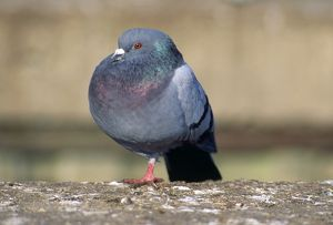 Urban Pigeon - with only one leg