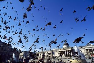 Urban Pigeons - flock in Trafalgar Square