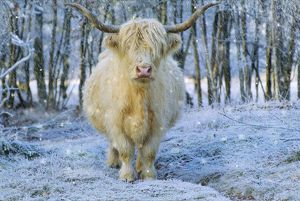 VG-5765-M1 Scottish Highland Cow - in snowy scene wearing a Christmas hat