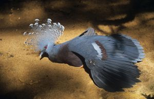 Victoria Crowned PIGEON - captive