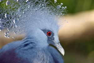 Victoria Crowned Pigeon in captivity