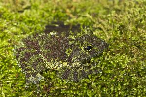 Vietnamese Mossy Frog - camouflaged in moss
