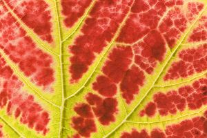 vine leaf - detail of a colouful red and yellow coloured vine leaf in autumn