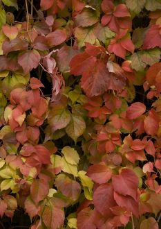 Virginia creeper, covering old wall; showing autumn colour