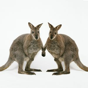 Wallaby - x2 holding hands