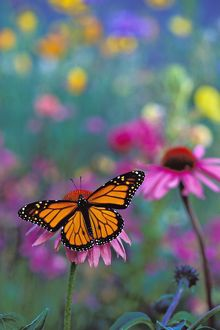 Wanderer / MONARCH / Milkweed Butterfly - on coneflower in field of wildflowers.