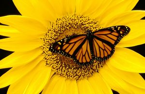 Wanderer / MONARCH / Milkweed Butterfly - female, on Sunflower (Helianthus sp.)