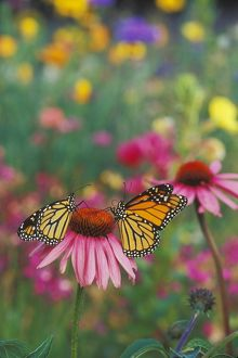 Wanderer / MONARCH / Milkweed Butterfly - on purple coneflower (Echinacea purpurea)
