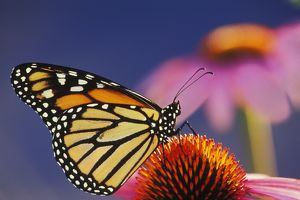 Wanderer / Monarch / Milkweed Butterfly - on purple coneflower, (Echinacea purpurea)