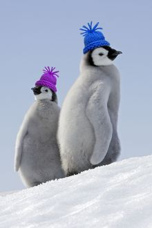WAT-10856-M Emperor Penguins. Two young together wearing woolly hats
