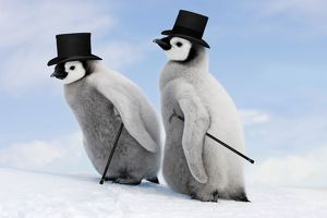 WAT-11255-M3 Emperor Penguin - two chicks with woolly hats.