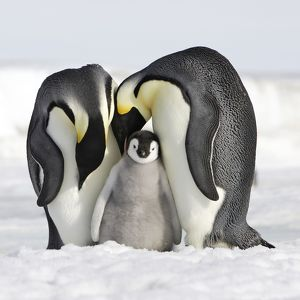 WAT-11382-C-M Emperor Penguin - adults with chick with present at feet